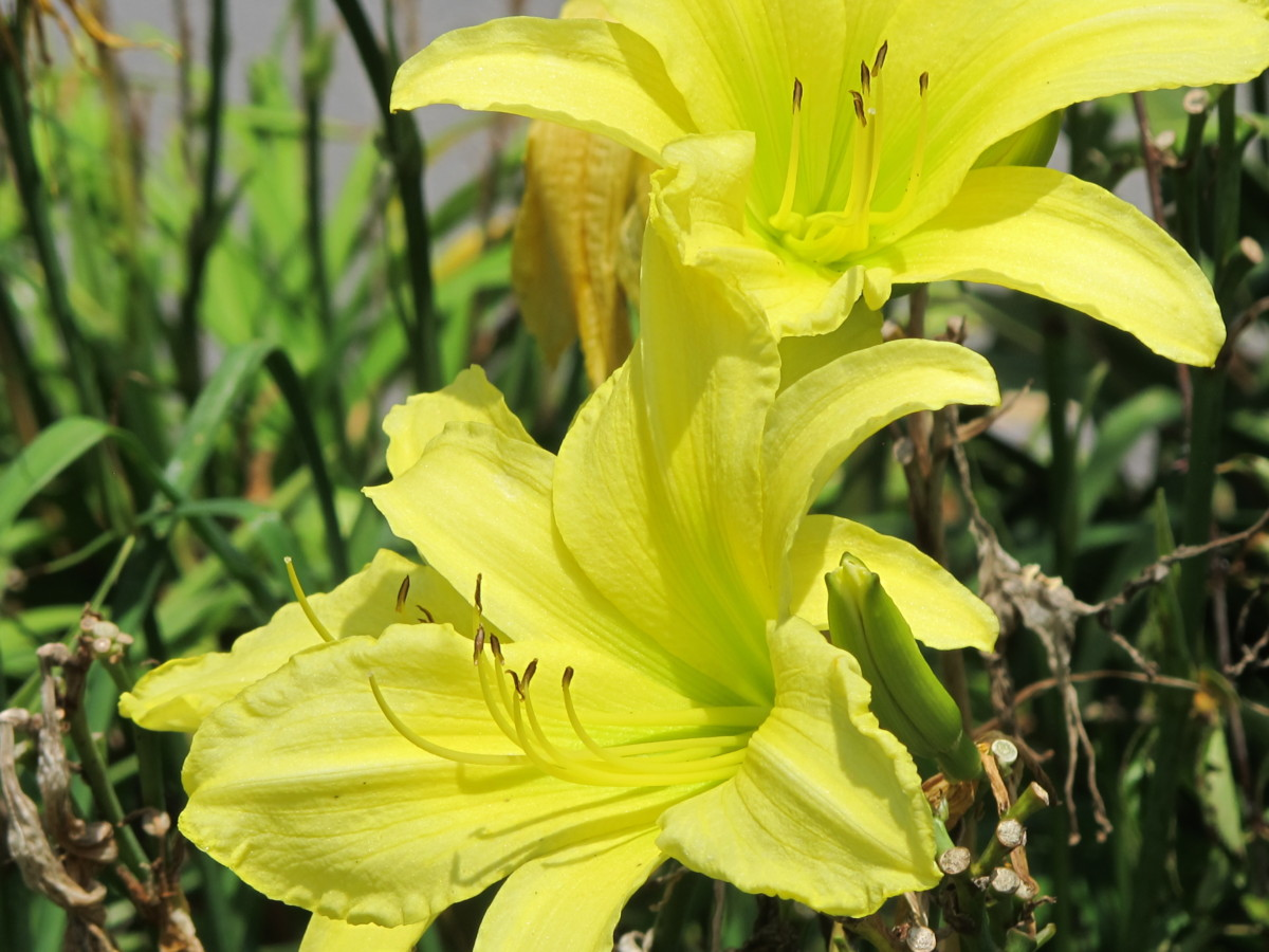 Daylily Plant LAKE LURE Perennial DF Sellers Flower Lavender Light Pink